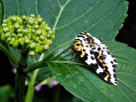 Bonte bessenvlinder - Bonte bessenvlinder, zaten 2 stuks in de tuin - foto door joke-37 op 08-04-2021 - deze foto bevat: bestuiver, insect, geleedpotigen, vlinder, fabriek, motten en vlinders, plaag, bloeiende plant, terrestrische plant, ongewervelden