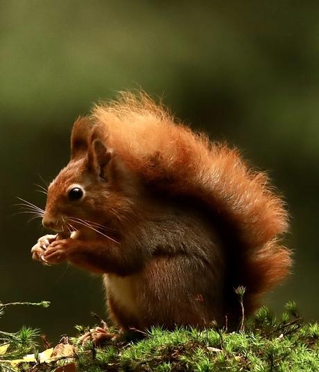 Ons mooie Hollandse eekhoorntje