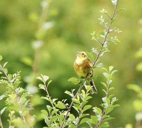 Geelgors aan het zingen