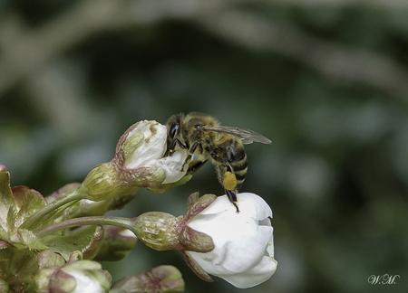 Een Bij op de bloesem van onze kersenboom! - Het is nog wel koud maar als even de zon schijnt komen de bijen in actie. Altijd een mooi gezicht! - foto door WMeijerink op 14-04-2021 - deze foto bevat: bij, bloesem, kersenboom, natuur, natuurfotografie, macro, macrofotografie, bloem, fabriek, bestuiver, geleedpotigen, insect, bloemblaadje, honingbij, drosophila, plaag, hommel