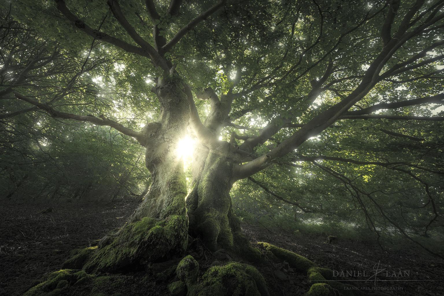 A Song for Verdant Ones - Respectabele beuk in Nationaal Park Kellerwald-Edersee. - foto door Laanscapes op 19-04-2021 - locatie: Laustraße 8, 34537 Bad Wildungen, Duitsland - deze foto bevat: boom, natuur, bos, groen, mysterieus, landschap, fabriek, plant gemeenschap, mensen in de natuur, boom, natuurlijk landschap, takje, schaduw, hout, kofferbak, terrestrische plant