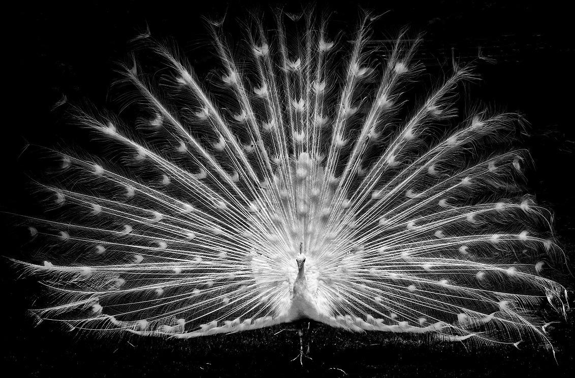 Witte Pauw - Witte pauw in zwart wit. gr.Peter - foto door pjhtheunissen op 27-04-2021 - locatie: 6121 Born, Nederland - deze foto bevat: pauw, zwart wit, born, haar, vogel, water, pauw, oog, fabriek, wolk, bek, phasianidae, flitsfotografie