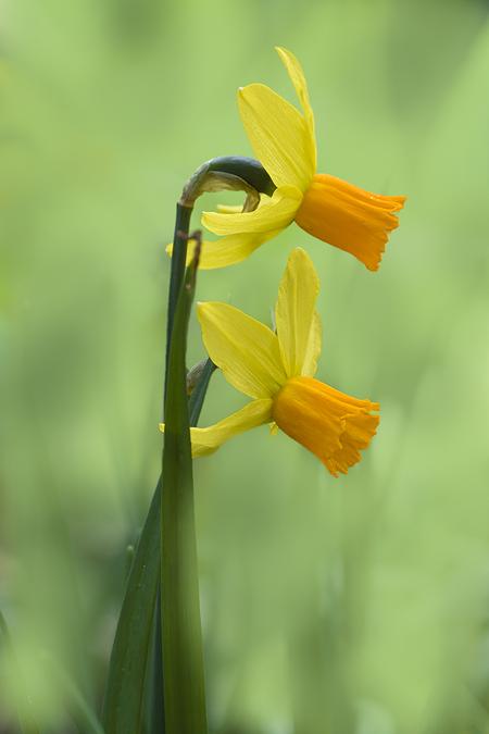 Mijn favoriete narcissen - Deze narcissen met het fel oranje hart en de terugstaande bladeren zijn mijn favoriete narcissen. - foto door Piebe op 07-04-2021 - deze foto bevat: bloem, fabriek, bloemblaadje, terrestrische plant, gras, pedicel, bloeiende plant, kruidachtige plant, macrofotografie, wildflower