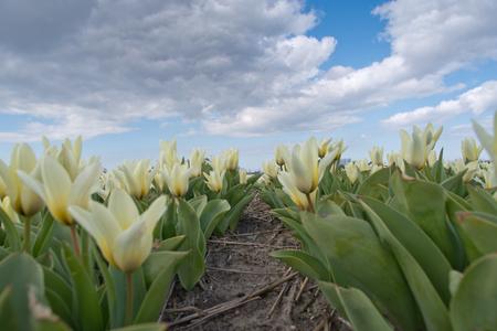 wuiven naar de wolken - het was frisjes op het fietsje, veel wind, tis nog wel erg vroeg voor de bollenvelden, vandaag alleen wat hyacinten en narcissen, de tullupies vinden - foto door reginus op 16-04-2021 - locatie: Bollenstreek, Nederland - deze foto bevat: bloem, lucht, wolk, fabriek, bloemblaadje, natuurlijk landschap, terrestrische plant, gras, landschap, weide