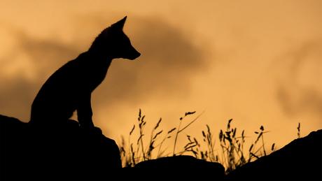 Vos tegen zonsondergang