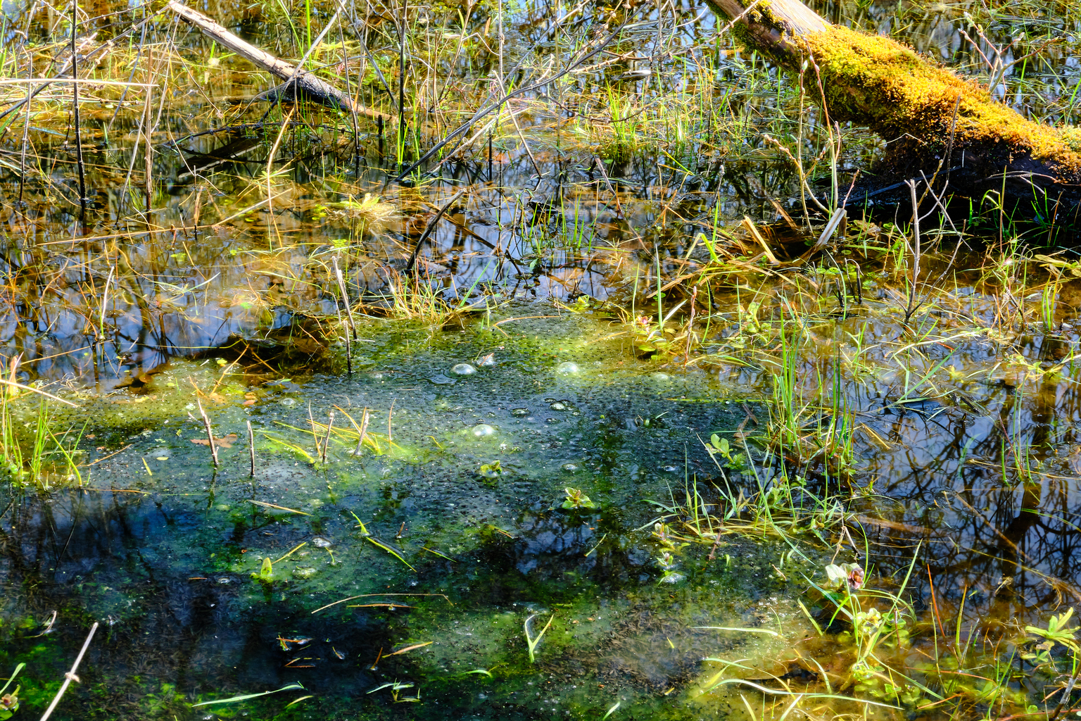 Er groeit iets in de vennetjes (2) - Meijendel - foto door Eugenio op 12-04-2021 - deze foto bevat: natuur, landschap, vennetje, kikker, natuurlijk landschap, afdeling, mensen in de natuur, fluviatiele landvormen van beken, vegetatie, terrestrische plant, waterloop, gras, water, bodembedekker