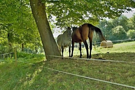 Onderonsje tussen twee paarden in de schaduw van een boom.