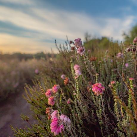 Heide bloeit