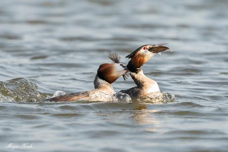 Bij de strot hebben... - Een fuut dook op met een flinke vis in de snavel Maar ook met een andere fuut die zijn hals dichtkneep. Het werd een fikse strijd voor de vis. Maar g - foto door Marja8032 op 07-04-2021 - locatie: 2665 Bleiswijk, Nederland - deze foto bevat: fuut, vogel, water, water, vogel, vloeistof, vloeistof, bek, meer, eenden, ganzen en zwanen, watervogels, veer, eend
