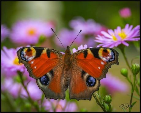 Dagpauwoogvlinder tussen de bloemetjes