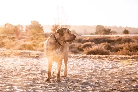 Maatje - Mijn lieve maatje, gouden uurtje vroeg in de morgen. Genieten! - foto door SerenaZoom op 15-04-2021 - locatie: 6891 Rozendaal, Nederland - deze foto bevat: natuur, goudenuurtje, kleur, landschap, veluwe, nikon, hond, hondenfotografie, zonsopkomst, zonlicht, tegenlicht, lucht, hond, fabriek, werkend dier, hondenras, carnivoor, boom, zonlicht, fawn, jachthond