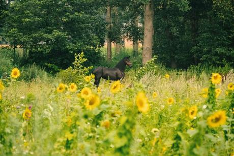 Zonnebloemveld en een paard