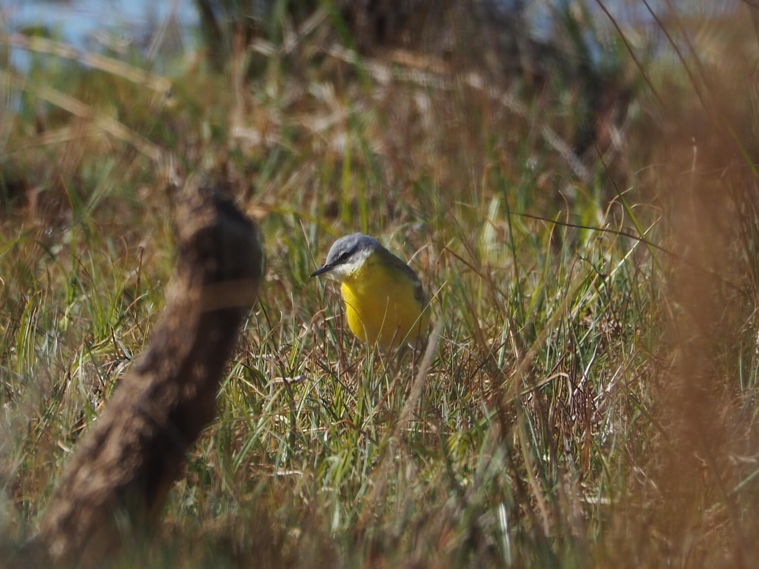 Gele kwikstaart - Texel - foto door atzedejong-01 op 14-04-2021 - deze foto bevat: vogel, fabriek, bek, veer, grasland, zangvogel, grass familie, gras, prairie, terrestrische dieren