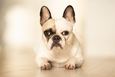 Franse Bulldog Beau