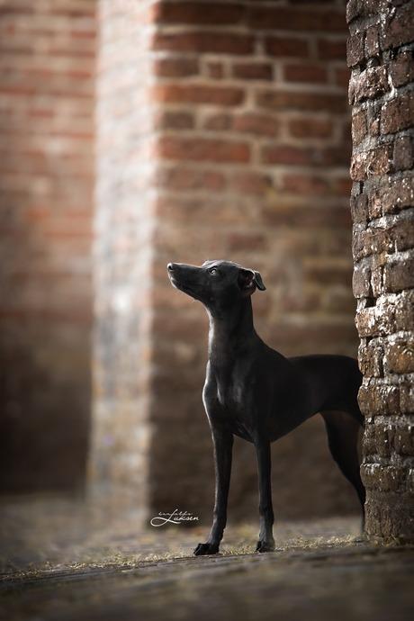Italiaanse windhond puppy