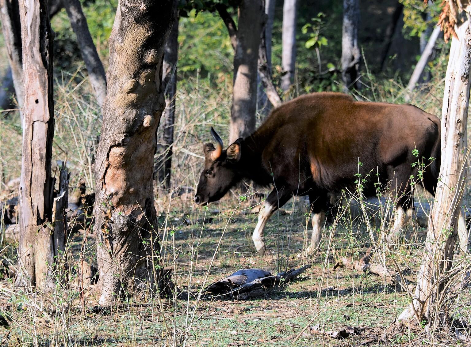 Mijn  Reizen  - Dit is een Gaur  een  Wilde koe  die in India door de bossen zwerft    je moet ze niet tegen komen  want ze  zijn  goed wild.  Zelfs de tijgers hebbe - foto door Stumpf op 16-04-2021 - locatie: India - deze foto bevat: fabriek, elk, herten, boom, fawn, kofferbak, terrestrische dieren, natuurlijk landschap, hoorn, antilope