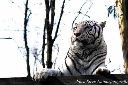The white tiger - Deze witte tijger komt ook uit Ouwehands Dierenpark - foto door joost-sterk op 14-06-2015 - deze foto bevat: dierentuin, dieren, tijger