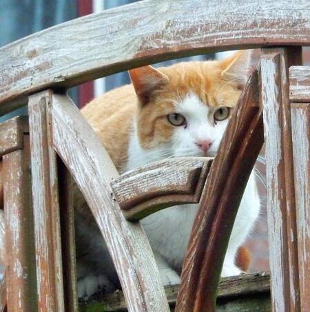 daar ben ik nog een keer.... - voorlopig is dit de laatste foto van deze kat, die nog regelmatig op de schutting te vinden is. het is een brutaaltje hoor! groetjes en fijne woensd - foto door Tonny1946 op 02-12-2020 - deze foto bevat: wit, poes, herfst, huisdier, kat, hekwerk, nieuwegein, achtertuin, rood/oranje, november 2018