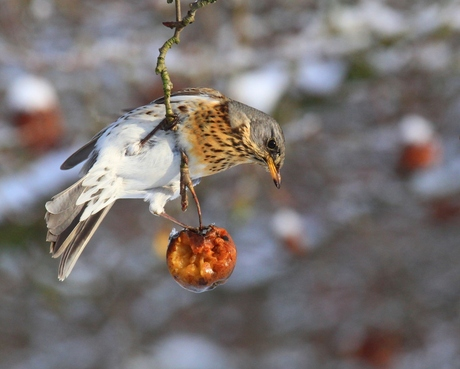 Kramsvogel op de appeltjes