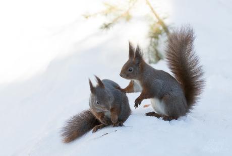 Eekhoorns in de sneeuw