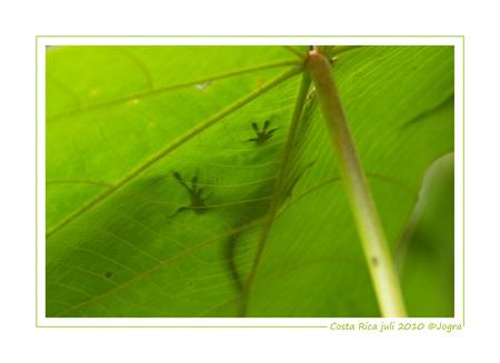 hagedis anders - Een hagedisje door het blad heen gezien. - foto door Lathyrus op 06-08-2010 - deze foto bevat: hagedisje, costa rica