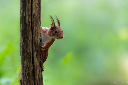 Ieps - Effe piepen wat jij daar allemaal aan het doen bent met je rare toestellen... - foto door frankjacobs op 01-06-2019 - deze foto bevat: natuur, dieren, eekhoorn, nikon, wildlife, frank jacobs, frankjacobs, nikon d5