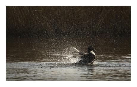 Watervogel.