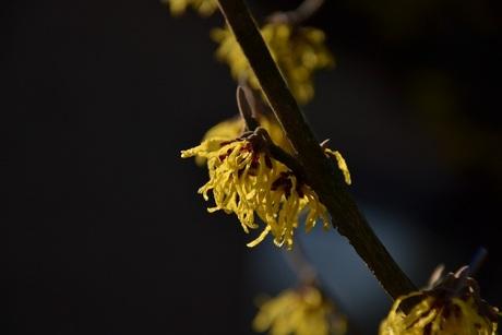 toverhazelaar in bloei