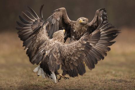 White-tailed Eagle dance.