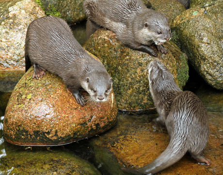 dwerg otters