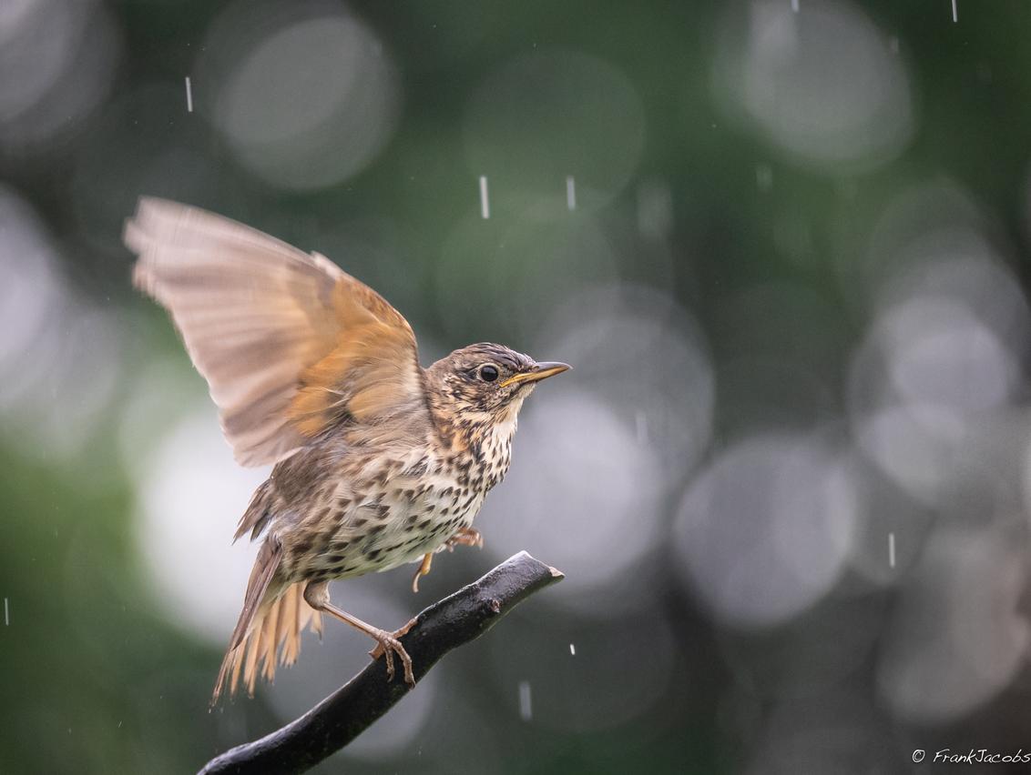 I'm singing, and dancing in the rain!! - - - foto door frankjacobs op 02-06-2018 - deze foto bevat: natuur, dieren, vogel, lijster, nikon, zanglijster, frank jacobs, nikon d5