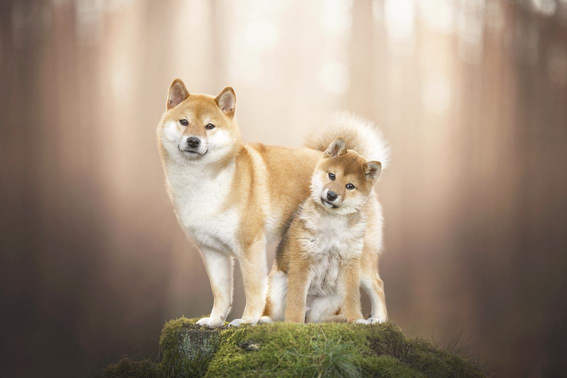 Shiba Inu - - - foto door JudithVrugt op 02-04-2021 - deze foto bevat: natuur, portret, dieren, huisdier, bos, hond, puppy