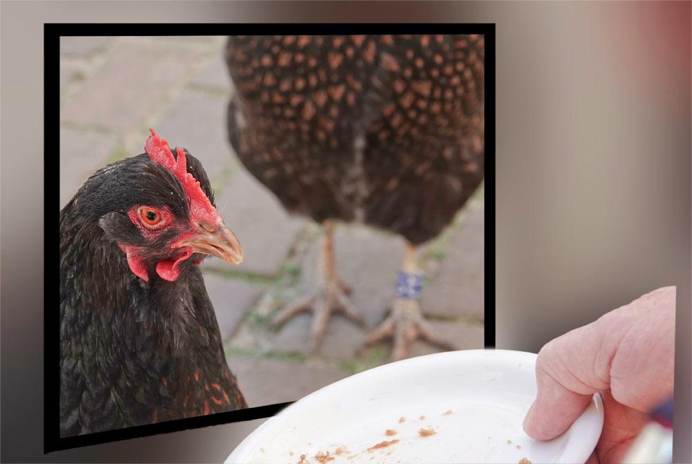 voeren op afstand.................. - zolang de kippen binnen moeten blijven; vanaf vandaag mogen ze weer naar buiten, voor hen is dan alles weer normaal..;);) nu wij nog..... - foto door alizoom op 29-04-2020
