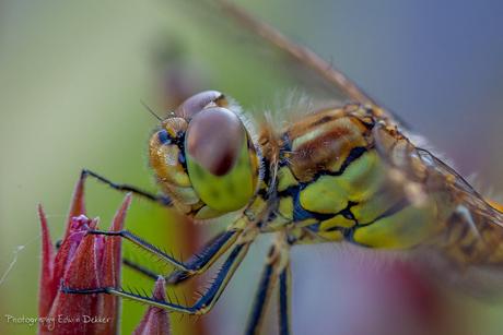 Oleander libelle