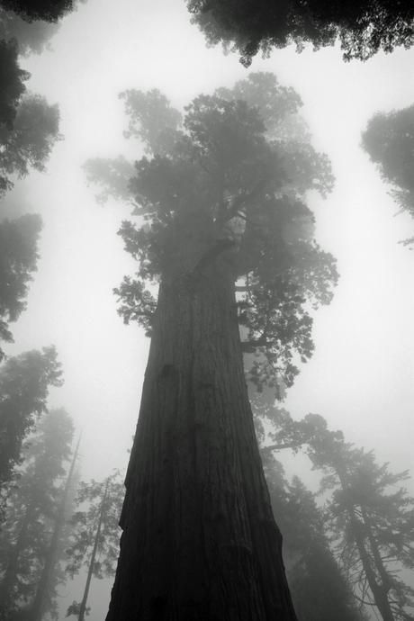Sequioa in de mist