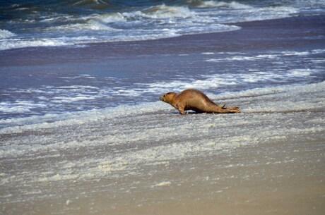 Zeehond op Terschelling