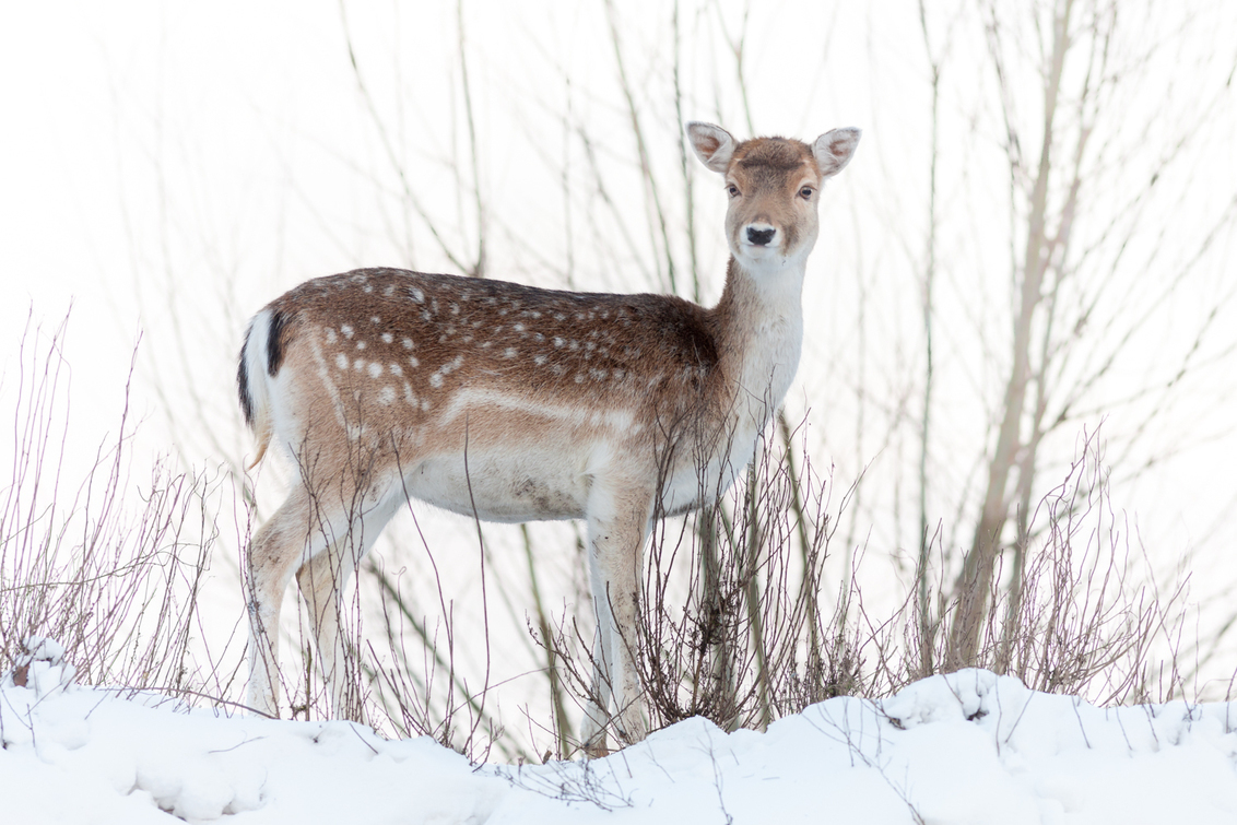 Damhert - Kleiner dan het edelhert en groter dan de ree.  Vanboven af keek ze naar de fotograaf met een mooie blik. Klik en gelukkig was de fotograaf.  Bed - foto door Santakees op 01-03-2021 - deze foto bevat: natuur, sneeuw, dieren, hinde, hert