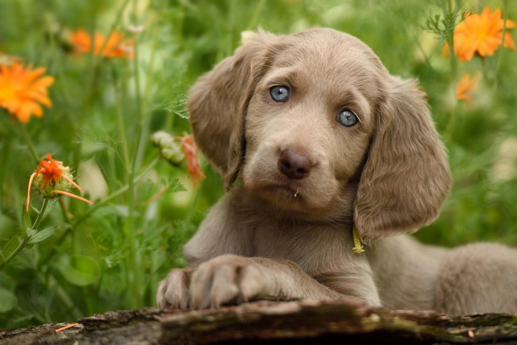 Liehief! - Issie niet om zo mee naar huis te nemen? - foto door guurtje op 21-06-2015 - deze foto bevat: blauw, dieren, huisdier, hond, ogen, jong, puppy