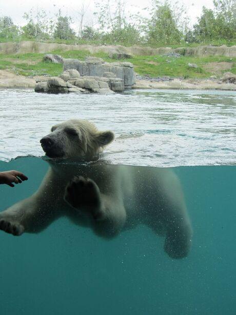 Vicks de ijsbeer