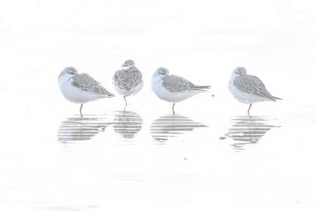 drieteenstrandlopers - Drieteenstrandlopers in de branding het gestreepte spiegelbeeld is ontstaan door ribbels in het zand. Foto is twee stops overbelicht. - foto door peter-205 op 25-02-2021 - deze foto bevat: strand, zee, natuur, dieren, vogel, branding, watervogel