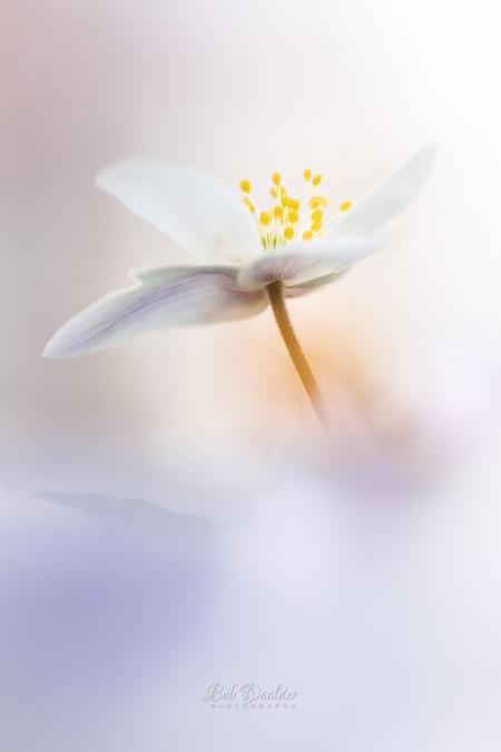 """Happiness - """"The happiness of your life depends upon the quality of your thoughts."""" - Marcus Aurelius, Meditations  Een Bosanemoontje met op de voorgrond minimaa - foto door bobphoto op 09-04-2021 - locatie: Den Helder, Nederland - deze foto bevat: bosanemoon, bloem, voorjaar, lente, natuur, zachtheid, zen, romantisch, liefde, vredelievend, pastel, licht, lief, bloem, fabriek, bloemblaadje, vleugel, takje, bloeiende plant, terrestrische plant, pedicel, stuifmeel, natuurlijk landschap"""