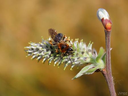 Roodgatje  - Roodgatje is een algemene zandbij welke in grote aantallen voorkomt. - foto door Vissernpz op 14-04-2021 - locatie: Assen, Nederland - deze foto bevat: insect, bij, honing, bloem, bestuiver, insect, geleedpotigen, fabriek, honingbij, plaag, terrestrische plant, takje, hommel