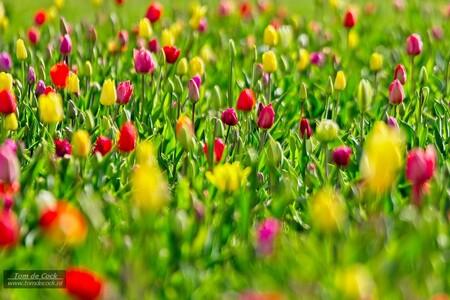 Tulpen - Tulpenveld in een woonwijk. - foto door cockie op 15-04-2021 - locatie: Hoensbroek, Nederland - deze foto bevat: tulp, bloem, voorjaarsbloem, voorjaar, kleur, plant, natuur, bloem, fabriek, ecoregio, bloemblaadje, mensen in de natuur, natuurlijk landschap, vegetatie, gras, bodembedekker, grasland