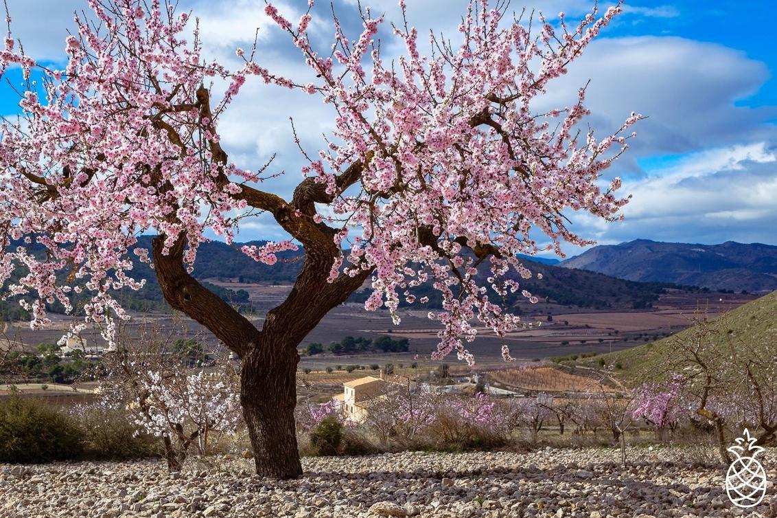 Season of Blossom - Elk jaar weer genieten wanneer de amandelbomen in bloei komen.  Hondón de los Frailes. Spanje. - foto door HenkPijnappels op 08-02-2021 - deze foto bevat: lucht, wolken, lente, natuur, licht, landschap, bomen, bergen, bloesem, amandelbomen