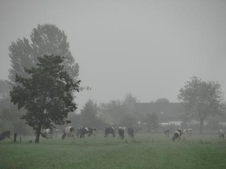 Koeien in de mist bij Werkhoven