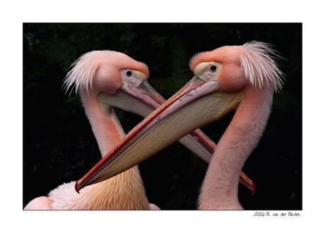 Crossing beaks