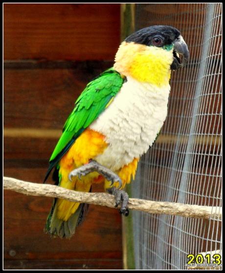 mijn caique papegaai