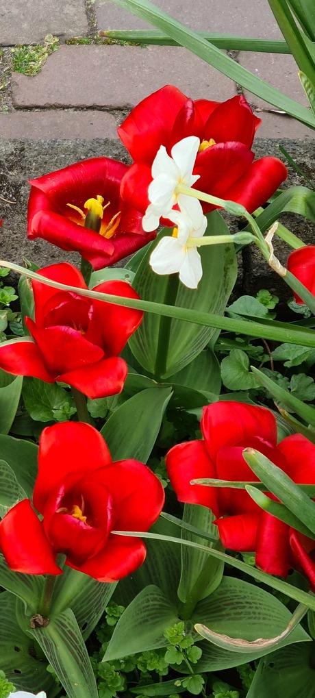 Rode narcissen met twee gele ertussen.