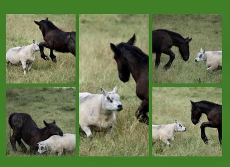 veulen met schaap samen aan het spelen