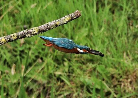 Kingfisher male